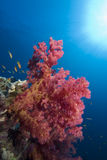 Vibrant soft coral Royalty Free Stock Photography
