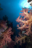 Vibrant soft coral Royalty Free Stock Photo