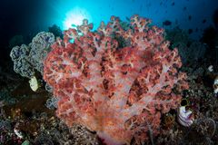 Vibrant Soft Coral Colony on Healthy Reef in Raja Ampat stock image