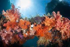 Vibrant Soft Corals on Healthy Reef in Raja Ampat royalty free stock images