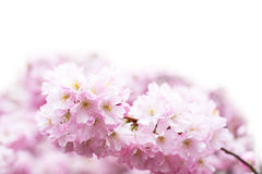 Vibrant spring background with beautiful pink cherry blossom, Sakura flowers Royalty Free Stock Image