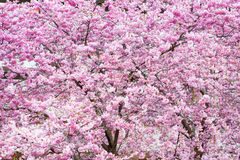 Vibrant spring background texture with beautiful pink cherry blossom, Sakura flowers Royalty Free Stock Image