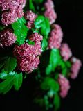 Vibrant spring blossom at night. Spring vibrant blossom night pink green droplets pedal colorful  beautiful bloom macro royalty free stock photo