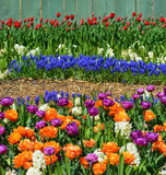 Vibrant Spring Flowers in Full Bloom Royalty Free Stock Photos
