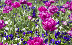 Vibrant Spring Flowers Royalty Free Stock Images
