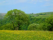Vibrant spring meadow with yellow flowers and surrounding trees with hillside farmland and fields in yorkshire dales countryside stock image