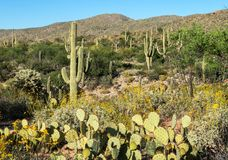 Saguaro National Park near Tuscon. Vibrant Springtime foliage in the Sonoran Desert near Tuscon, Arizona stock photos