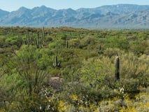 Saguaro National Park near Tuscon royalty free stock photography