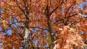 Vibrant strong autumn colors on rowan tree leaves in light breeze stock video footage