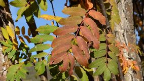 Vibrant strong autumn colors on rowan tree leaves in light breeze stock footage