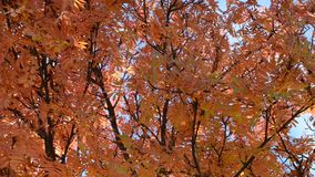 Vibrant strong autumn colors on rowan tree leaves in light breeze stock video