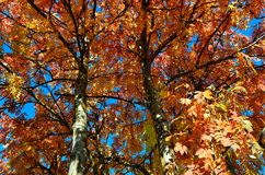 Vibrant strong colors on rowan tree in autumn. Sunshine Royalty Free Stock Photography
