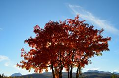 Vibrant strong colors on rowan tree in autumn. Sunshine Stock Image