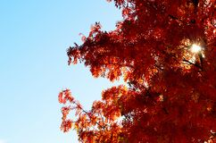 Vibrant strong colors on rowan tree in autumn. Sunshine Royalty Free Stock Image