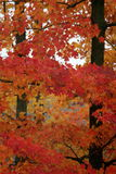 Vibrant sugar maples in autumn Stock Photo