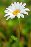 Vibrant summer Daisy flower in a dew. Stock Photos