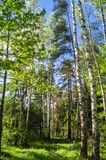 Vibrant summer landscape. Mixed forest on the sunny day. Woodland of Moscow region is a great place for communication with nature and relaxation. Vibrant colors stock photo