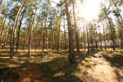 Vibrant Summer Pine forest Stock Photography