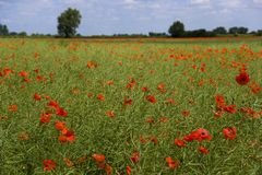 Summer countryside. Vibrant summer poppy in field in The Cotswolds near Lechlade, Gloucestershire, UK Stock Image