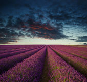 Vibrant Summer sunset over lavender field landscape Royalty Free Stock Image