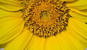 Vibrant Sunflower. Bloom suitable for greeting cards. Copy space royalty free stock images