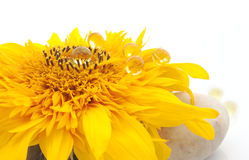 Vibrant sunflower with capsules. Vibrant sunflower lying on the stones and capsules with vitamins on it stock image