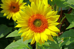 Vibrant sunflower Royalty Free Stock Photos