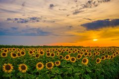 Vibrant sunflower field in sunset in summer. Vibrant sunflower field close-up in sunset in summer. It suited for North American as well as European climate royalty free stock photography