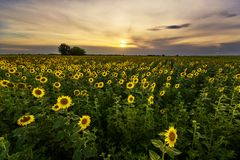 Vibrant sunflower field panorama in beautiful light. At the end of the day royalty free stock photography