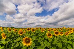Vibrant beautiful close-up of sunflower field with thick white clouds and blue sky in summer. Vibrant sunflower field panorama with big white clouds and many stock photos
