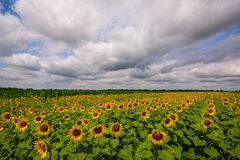Vibrant sunflower field panorama with big white clouds in summer. Vibrant sunflower field panorama with big white clouds and many beautiful flowers in summer stock images