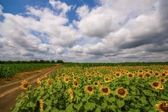 Vibrant sunflower field panorama with big white clouds in summer. With farm road royalty free stock photos