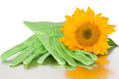 Vibrant Sunflower With Gardening Gloves. Over A White Background royalty free stock photography