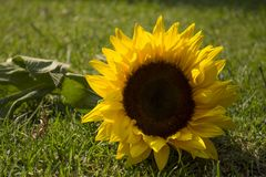 Vibrant sunflower on the ground. Whether you are talking about how to treat this delicate and beautiful flower, or maybe talking about Spring and what we have to Stock Image