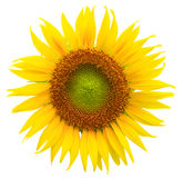 Vibrant sunflower isolated on white. Background stock photos