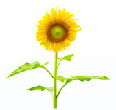 Vibrant sunflower isolated on white. Background royalty free stock photo