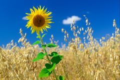 Vibrant sunflower on an oat field. Summer crop royalty free stock image