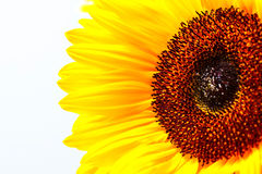 Vibrant Sunflower and Stamen Centre Stock Image