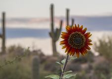 Vibrant Sunflower at sunset in the Arizona Desert. Sunflower at sunset in the Arizona Desert near Scottsdale AZ with cactus in background stock photos