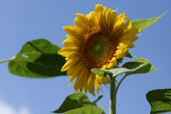 Vibrant Sunflower. Bloom suitable for greeting cards. Copy space royalty free stock photography
