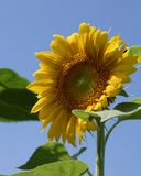 Vibrant Sunflower. Bloom suitable for greeting cards. Copy space royalty free stock image