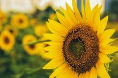 Vibrant sunflowers Stock Photo