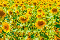 Vibrant sunflowers Stock Images