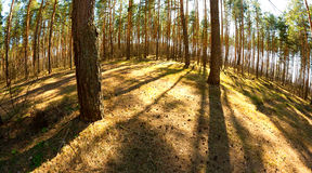 Vibrant sunny pine forest Stock Photos