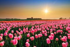 Vibrant sunset tulips royalty free stock images
