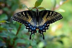 Beautiful Swallowtail Butterfly in a garden area background. Vibrant Swallowtail butterfly at a butterfly garden royalty free stock photos