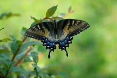 Beautiful Swallowtail Butterfly in a garden area background. Vibrant Swallowtail butterfly at a butterfly garden royalty free stock image