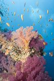 Vibrant tropical orange and pink soft coral. Royalty Free Stock Image