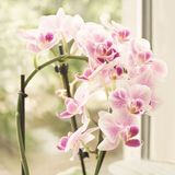 Vibrant tropical purple and white orchid flower, vintage square floral background. Orchids on the window. Beautiful home bouquet o Royalty Free Stock Photos