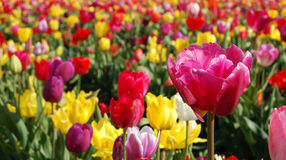Vibrant Tulip Field. Vibrant tulips in the field on a spring day Royalty Free Stock Photography